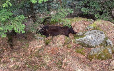 Il y a maintenant 2 ours à remplacer dans les Pyrénées