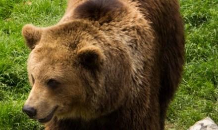 Appel à s'exprimer contre la capture de l'ours Goiat