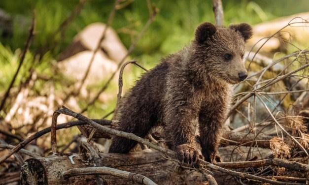 Enfin des naissances d'oursons dans le Béarn !