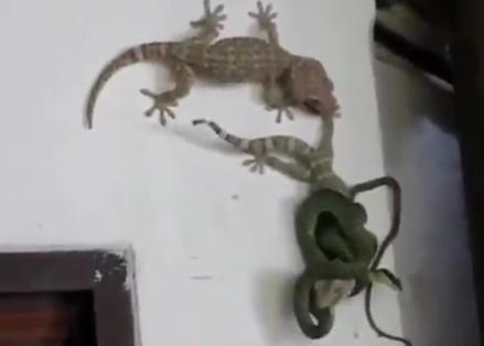 仲間のヤモリがヘビに絡まれている!助けなくては・・・