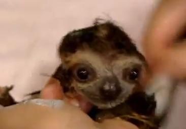 お風呂に入るナマケモノ