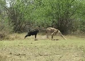 ライオンに立ち向かう勇敢なヒヒ、しかしライオンの仲間が来て・・・