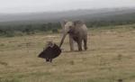 ゾウの耳を咥えるハイエナ、それを見て怒るゾウ