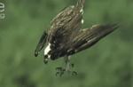 保護色で見つけ難いカレイを、上空から狙い捕食するミサゴ