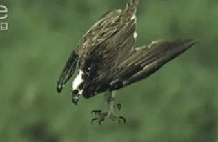 保護色で見つけにくいカレイを上空から狙い捕食するミサゴ