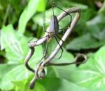 ヘビ vs クモ (蜘蛛に捕食されるヘビ)