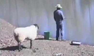 釣りを楽しむ男が気に入らなかった羊