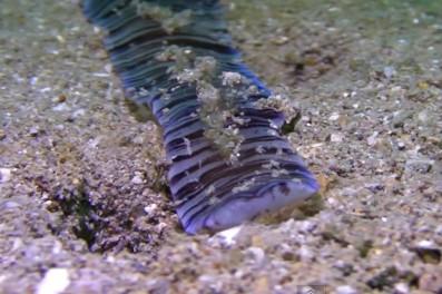 奇妙な海洋生物・紐形動物ネメルティア(ヒモムシ)の映像