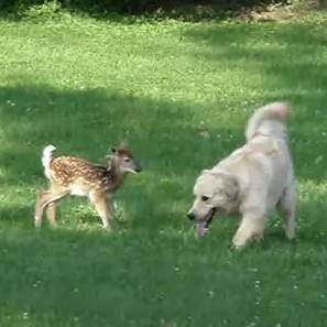 楽しく遊ぶ、ゴールデンレトリーバーと子鹿
