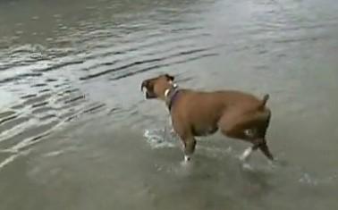 棒切れを手に入れるために勇敢に水に入るボクサー犬
