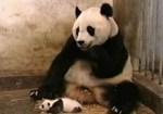 Youtube 135,000,000PVを超えた、パンダのくしゃみの映像