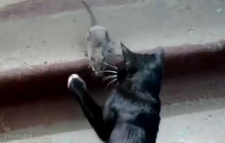 ネコ vs. ネズミ 猫パンチを繰り出すも立ち向かうネズミ
