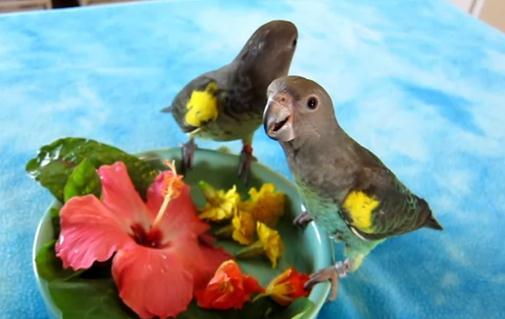 花を食べるムラクモインコの映像