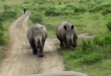 車で逃げるもしつこく追いかけてくる2頭のサイ