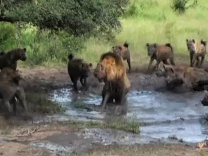 一頭の雄ライオン vs. ハイエナの群れ