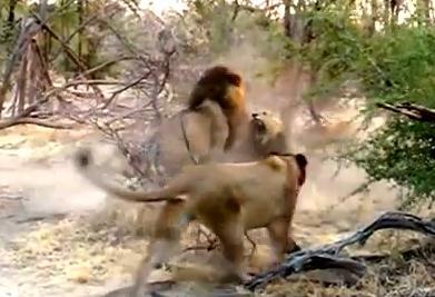 ライオン同士の激し戦い