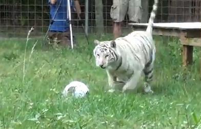 大型ネコ科動物にボールを与えた時の反応