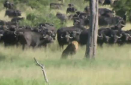 負傷した雄ライオン、アフリカ水牛の群れに襲われる