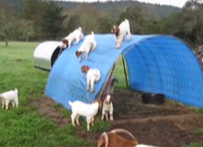 テントの上に登って遊ぶヤギの子供たち