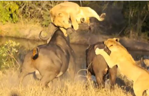 ライオン vs. アフリカ水牛 激しい頭突きを喰らう雌ライオン