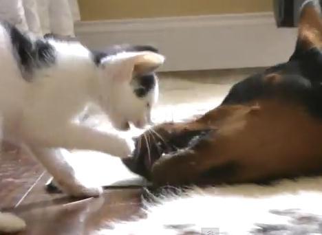 子猫と遊ぶドーベルマン