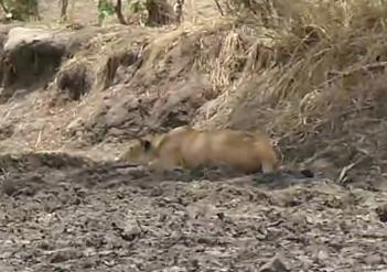眠っていたと思ったライオンが突然ヌーを仕留める
