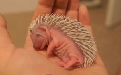 生後一週間のハリネズミの赤ちゃんの映像