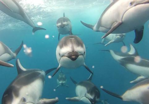 イルカの群れが泳ぐ姿を正面から撮影