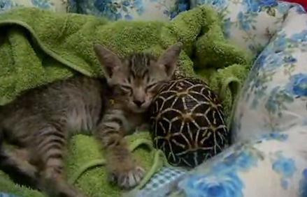 カメと一緒に眠る子猫