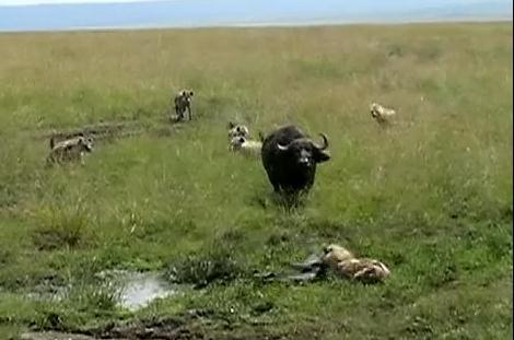 ハイエナの群れ vs. アフリカスイギュウの親子