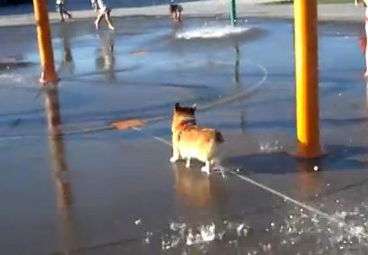 水遊びが楽しくて仕方がないコーギー