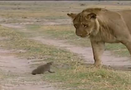 ライオン vs. マングース