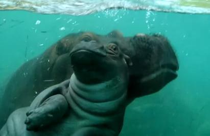 カバの赤ちゃん、母カバによる泳ぎの練習