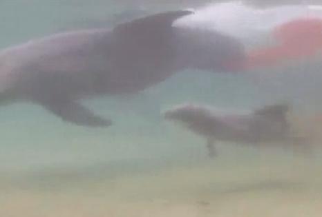 イルカ出産の瞬間の映像