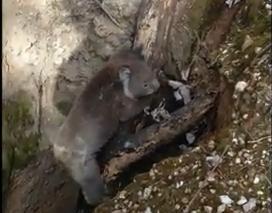 深い穴に落ちたコアラの救助