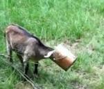 頭からバケツをかぶって取れなくなったヤギの子供