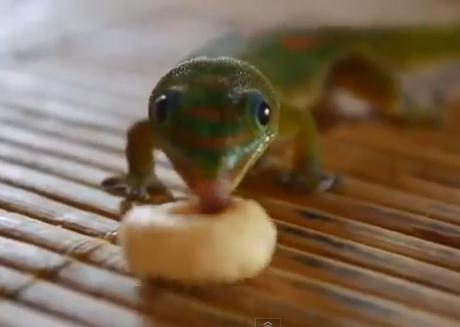 おやつを食べるヤモリ