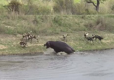 リカオンに追われ池に逃げるインパラ、その池の主が…