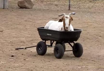ワゴンで遊ぶヤギ