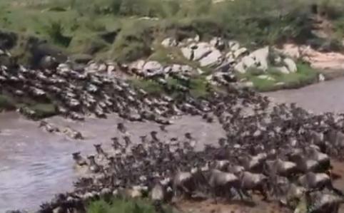 マサイマラからタンザニアへ大移動、川を渡るヌーの大群