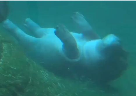 泳ぎを覚えたカバの赤ちゃん、水中バレー