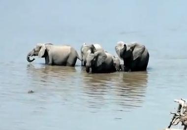 川を渡るゾウの群れ、赤ちゃんゾウをワニの攻撃から守る