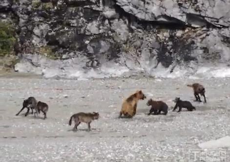 熊の親子を襲うおオオカミの群れ クマ vs. オオカミ