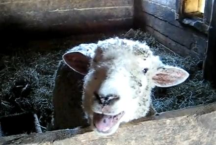 呼びかけると下品な声を出す羊