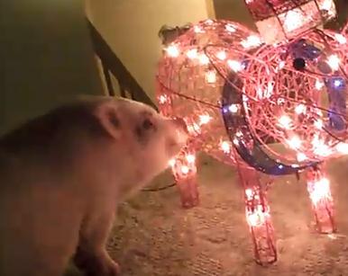 光輝く豚に興味津々なミニブタ