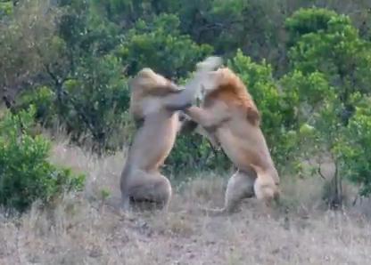 雄ライオン vs. 雄ライオン