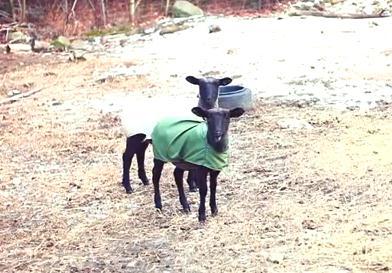 羊の変な叫び声