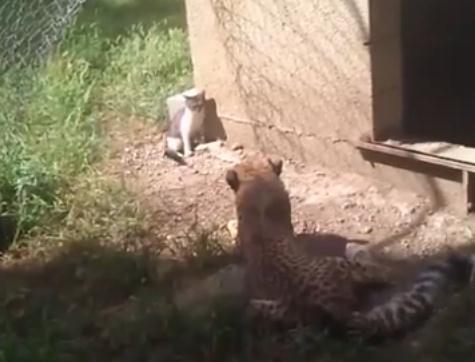 猫 vs. チーター猫 vs. チーター