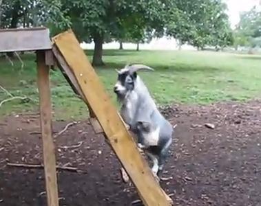 滑り台で遊ぶヤギ滑り台で遊ぶヤギ