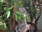 ブタみたいに鳴くコアラ